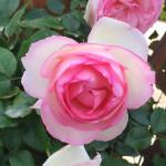 rose-fleur1000
